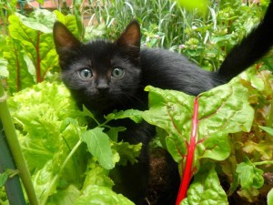 kitten in veg garden