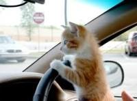cat taxi